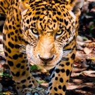 jaguaress