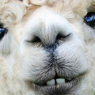Spitty_the_alpaca