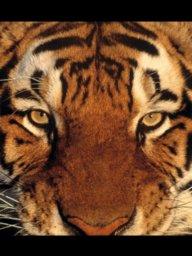 Tigersman