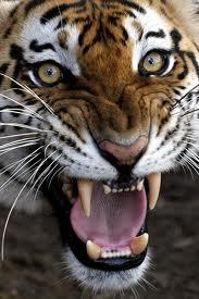 cairo tiger