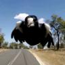 Soaring Magpie