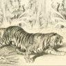 Cor tigris