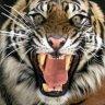 Tiger2709
